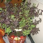 Tulasi / Tulsi Plant - Holy Basil (Ocimum Tenuiflorum)