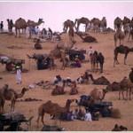 Largest Camel Fair