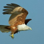Brahminy Kite at Mangalajodi (Image by Kolkatta Birds