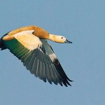 Ruddy Shelduck at Mangalajod (Image by Kolkatta Birds