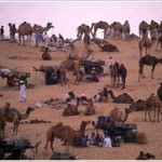 Largest Camel Fair